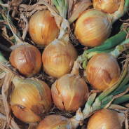 Onion Bedfordshire Champion 250 - 900 seeds